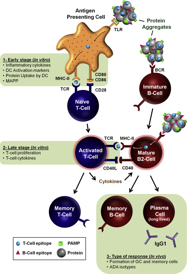 immunogenicity of therapeutic protein aggregates